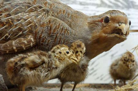perdrix: Partridge taxidermie Banque d'images