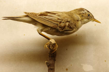 warbler: Saedge warbler taxidermy Stock Photo