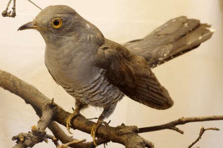 cuckoo: Cuckoo taxidermy Stock Photo