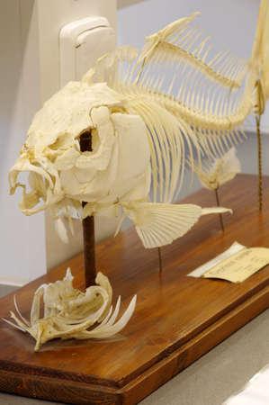 caudal fin: Carp skeleton