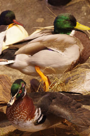 objects: Mallards taxidermy group objects Stock Photo