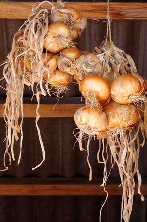 cebollas: cebollas maduras que cuelgan