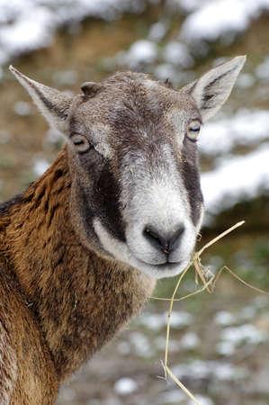 mouflon: mouflon portrait Stock Photo
