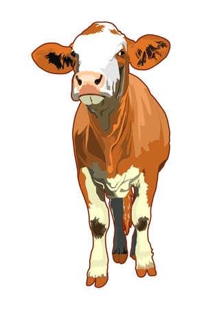vacas lecheras: ilustración de la vaca