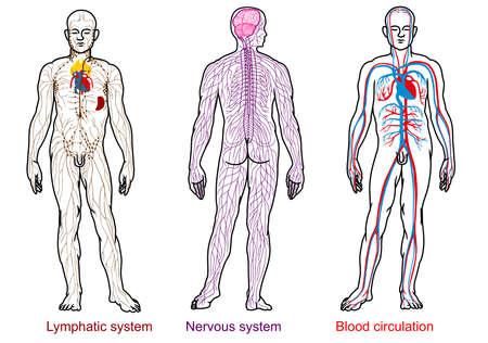 人体解剖学神経、血液、リンパ系  イラスト・ベクター素材