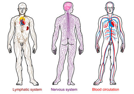 nervioso, sangre, sistema linfático anatomía humana