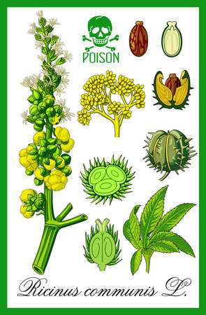 perennial: Ricinus communis herbal illustration