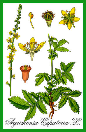 impotence: Common Agrimony herbal illustration