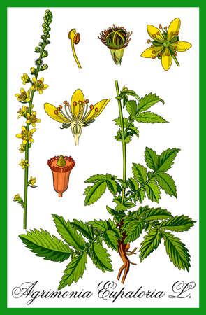 genitali: illustrazione a base di erbe comuni Agrimony Vettoriali