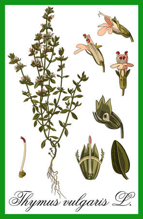 thymus: Thymus vulgaris - L. herbal illustration