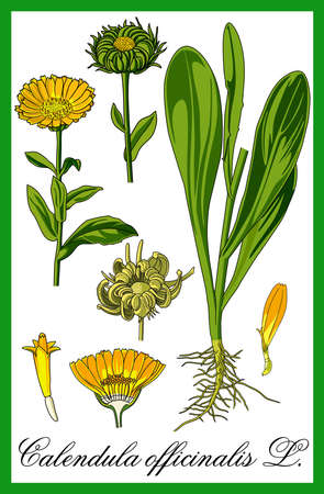 pot marigold herbal illustration
