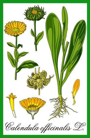 aromas: pot marigold herbal illustration Illustration