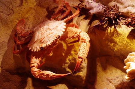 crab crustacean object taxidermy