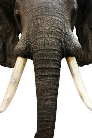 elephant hunting trophy Reklamní fotografie