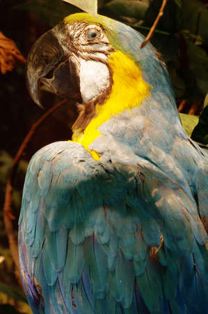 Blue and yellow parrot taxidermy object