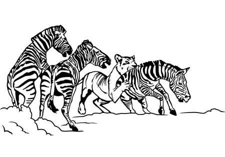 Lioness hunting zebra illustration.
