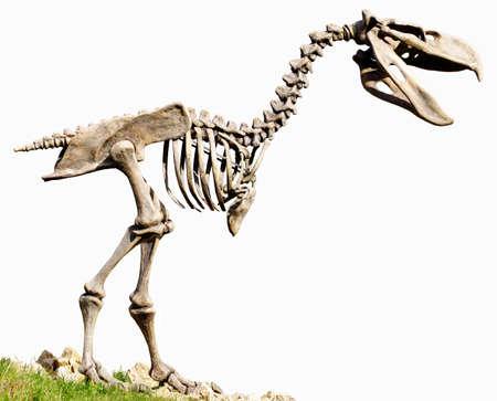 Phorusrhacidae carnivorous flightless birds replica fossil