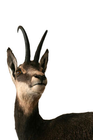 Chamois taxidermy objects