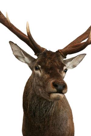 deer head hunting trophy taxidermy objects Reklamní fotografie