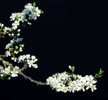 flowering plum black background Reklamní fotografie
