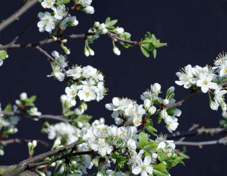 flowering plum background black Reklamní fotografie