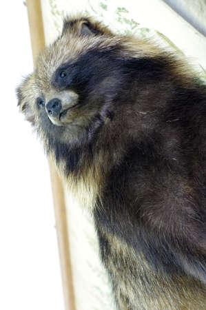 Portrait of raccoon taxidermy objects Reklamní fotografie