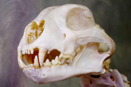 cheetah skull animals theme