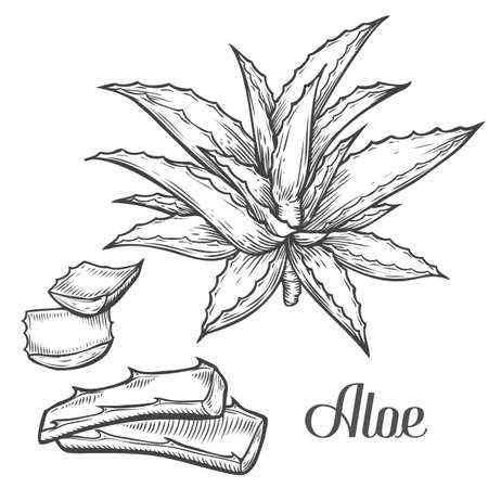 treatment plant: Aloe Vera plant hand drawn engraving vector illustration on white background. Ingredient for traditional medicine, treatment, body care, cooking or gardening. Aloe Succulent cactus Engraving style.