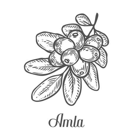 Amla Indian gooseberry plant, Phyllanthus emblica. Hand drawn engraved vector sketch etch illustration. Ingredient for hair and body care cream, lotion, treatment, moisture. Black on white background
