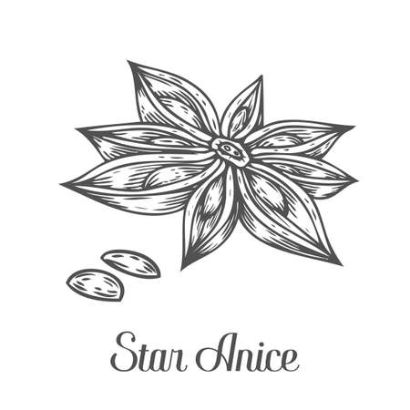 Anise star flower seed plant . Hand drawn sketch vector illustration isolated on white. Spicy herbs. Star anise Doodle design cooking ingredient for food, dessert. Seasoning spice herb