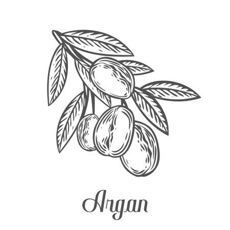 treatment plant: Argan nut oil, fruit, berry, leaf, branch, plant. Hand drawn engraved vector sketch etch illustration. Ingredient for hair and body care cream, lotion, treatment, moisture. Black on white background