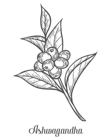 Ayurvedic Herb Withania somnifera, known as ashwagandha, Indian ginseng, poison gooseberry, or winter cherry. Hand drawn engraved vector sketch etch illustration. Ingredient for hair and body care Stock Illustratie