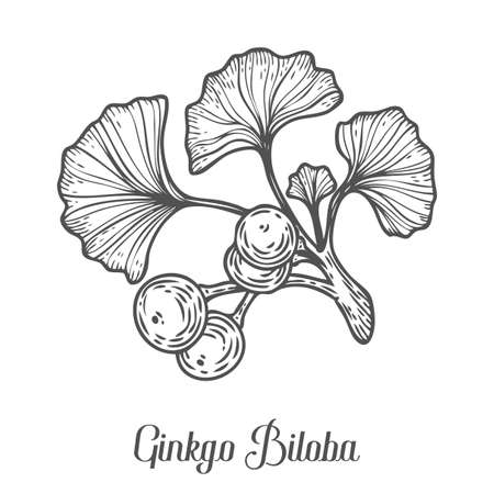 Ginkgo Biloba plant, leaf, branch, berry. Hand drawn engraved vector sketch etch illustration. Ingredient for hair and body care cream, lotion, treatment, moisture. Ginkgo Black on white background