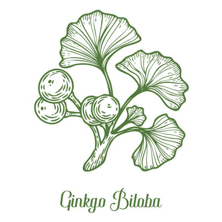 Ginkgo Biloba plant, leaf, branch, berry. Hand drawn engraved vector sketch etch illustration. Ingredient for hair and body care cream, lotion, treatment, moisture. Ginkgo Green on white background Illustration