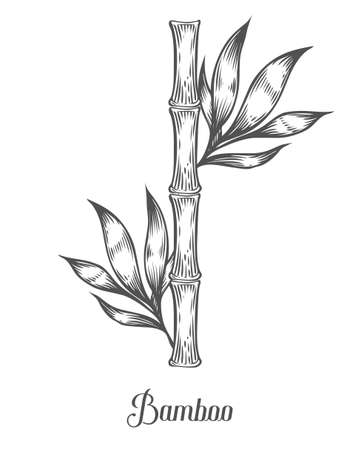 treatment plant: Bamboo stem branches and leaf vector hand drawn illustration. Black bamboo on white background. Engraving style. Asian plant set. Ingredient for food, care treatment