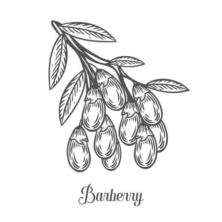 barbary: Barberry, fruit, leaf, plant branch. Superfood organic berry. Hand drawn vector sketch engraved illustration. Black barberry isolated on white background.