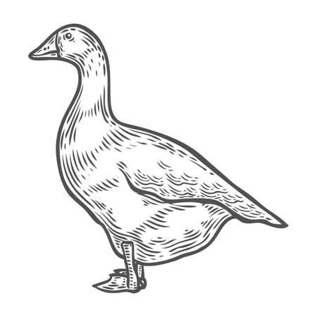 feathered: Grey goose, poultry, vector illustration sketch, farm feathered bird animal. isolated on white background, goose farm, sketch, hand drawn retro vintage style. Illustration
