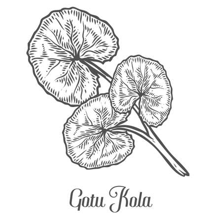 Gotu kola plant. Black isolated on white background. Organic nature medicinal herb. Hand drawn engraved sketch vector illustration.
