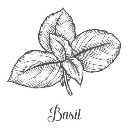 Basil fresh herb leaves plant vector hand drawn illustration on white background. Herbal Ingredient for traditional cuisine, medicine, treatment, cooking, gardening. Engraving style. Isolated on white