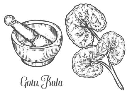 Gotu kola plant with mortar and pestle. Black isolated on white background. Organic nature medicinal herb. Hand drawn engraved sketch vector illustration. Фото со стока - 68335346