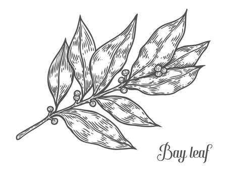 Bay leaf fresh herb plant vector hand drawn illustration on white background. Herbal Ingredient for traditional cuisine, medicine, treatment, cooking, gardening. Engraving style. Isolated on white