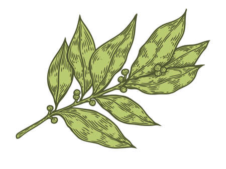 treatment plant: Bay leaf fresh herb plant vector hand drawn illustration on white background. Herbal Ingredient for traditional cuisine, medicine, treatment, cooking, gardening. Engraving style. Isolated on white