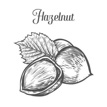 Hazelnut nut seed vector. Isolated on white background. Hazelnut butter food ingredient. Engraved hand drawn illustration in retro vintage style. Organic Food, cosmetics, treatment component.