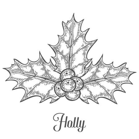 Holly or Ilex aquifolium or Christmas holly, retro vintage engraving hand drawn illustation plant with berryes. Leaves and fruit isolated on a white background. New year decoration