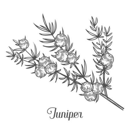 Juniper branch with berries. Hand drawn herbal illustration in sketch style. Juniper is a medical and food herbal ingredient. Isolated on white background.