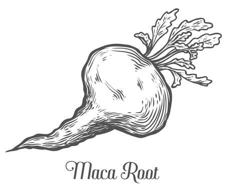 potency: Maca Peruvian superfood plant. Hand drawn engraved vector sketch etch illustration. Ingredient for hair and body care cream, lotion, treatment, moisture, food. Black on white background