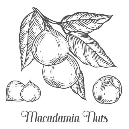 macadamia: Macadamia nut oil, fruit, berry, leaf, branch, plant. Hand drawn engraved vector sketch etch illustration. Ingredient for hair and body care cream, lotion, treatment, moisture. Black on white background