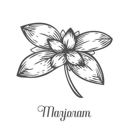 Marjoram plant branch leaf. Hand drawn sketch vector illustration isolated on white. Spicy herbs. Marjoram Doodle design cooking ingredient for food. Seasoning spice herb Illustration