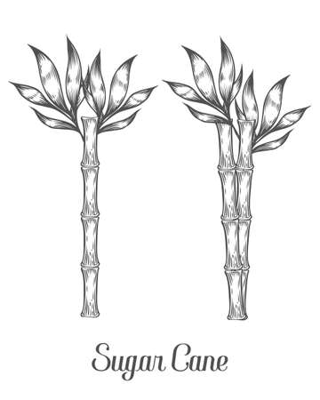 sugar cane: Sugar cane stem branch and leaf vector hand drawn illustration. Sugarcane Black on white background. Engraving style.