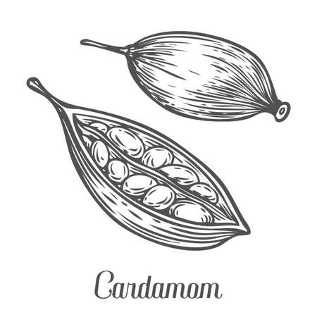 spicy plant: Cardamom seed plant . Hand drawn sketch vector illustration isolated on White. Spicy herbs. Cardamom Doodle design cooking ingredient for food, dessert. Seasoning spice herb. Illustration